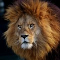Лев - Lion
