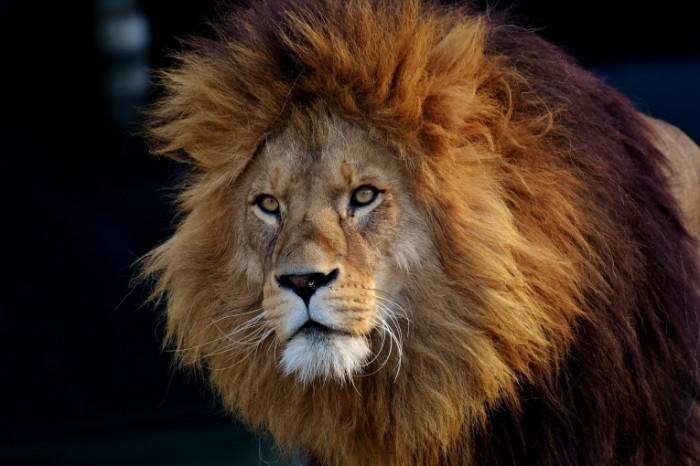 Lev Lion 700x466 Лев   Lion