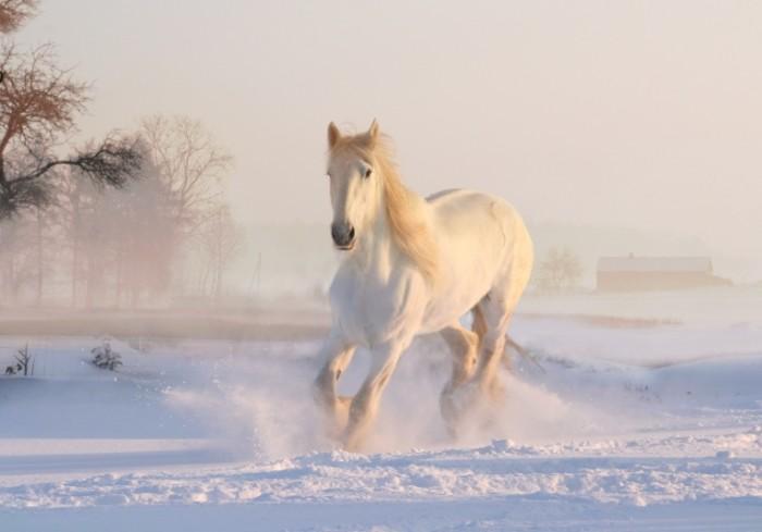 Loshad sneg Horse snow 700x489 Лошадь, снег   Horse, snow