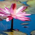 Водяная лилия - Water lily