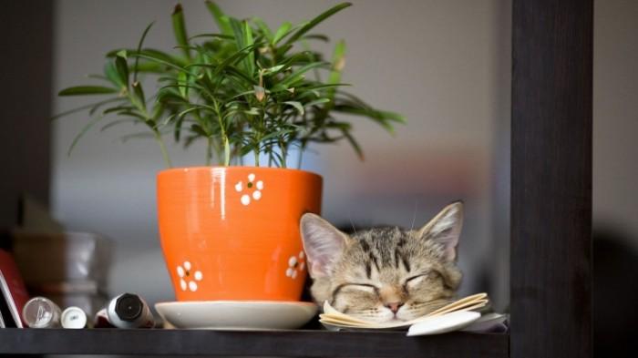 Kot gorshok rastenie Cat pot plant 700x393 Кот, горшок, растение   Cat, pot, plant