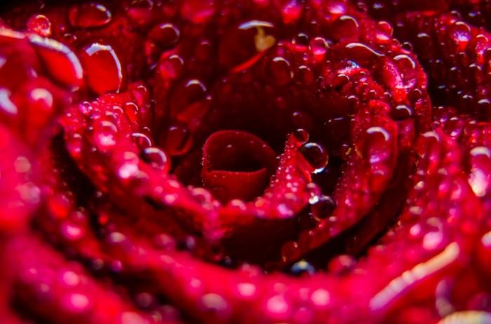 Роса на розе   Rosa rose