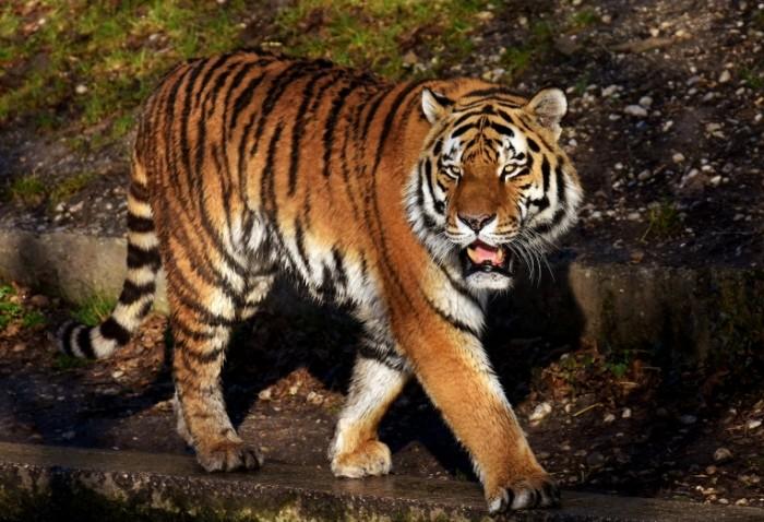 Tigr Tiger 700x478 Тигр   Tiger