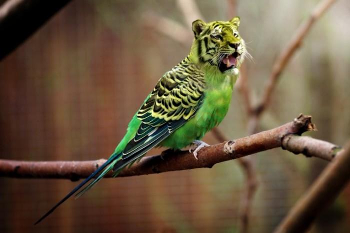 Volnistyiy popugaychik tigr Wavy parrot tiger 5070x3379 700x465 Волнистый попугайчик, тигр   Wavy parrot, tiger