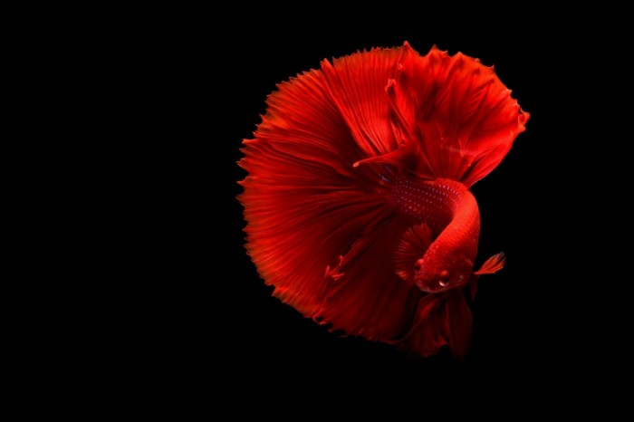Красная рыбка   Red fish