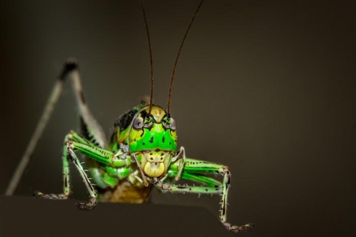 Kuznechik Grasshopper 5020x3350 700x466 Кузнечик   Grasshopper