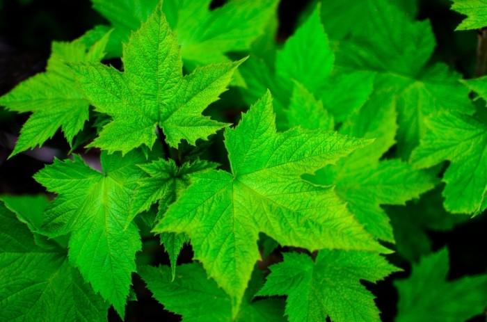 Listya klena Maple Leaves 4928  3264 700x463 Листья клена   Maple Leaves