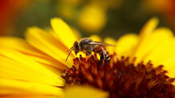 Osa Wasp 4128  2322 700x393 Оса   Wasp