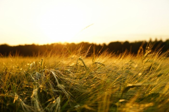 Pole pshenitsyi Wheat field 6000  4000 700x466 Поле пшеницы   Wheat field