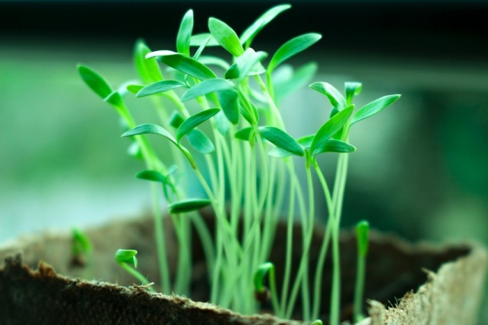 Rostki Sprouts 5184  3456 700x466 Ростки   Sprouts