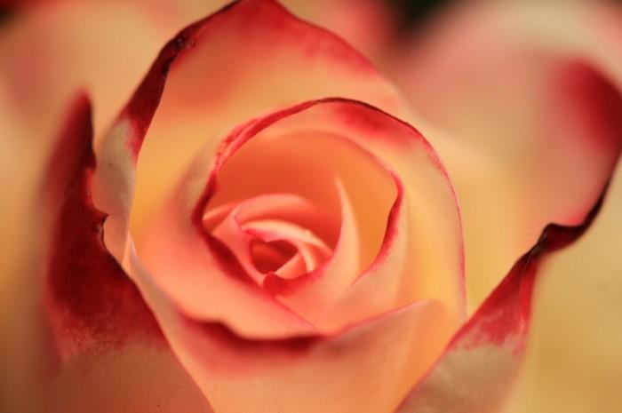 Roza Rose 5020x3324 700x465 Роза   Rose