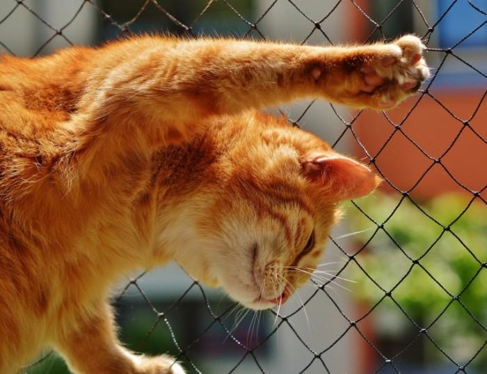 Ryizhaya koshka Ginger cat 4870  3748 700x538 Рыжая кошка   Ginger cat