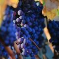 Виноградная лоза - vine