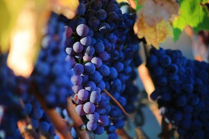 Vinogradnaya loza vine 5472  3648 700x466 Виноградная лоза   vine