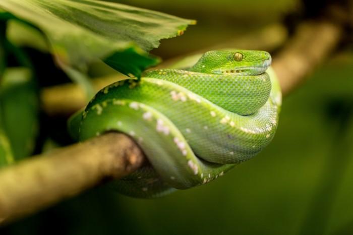 Zmeya Snake 4999  3333 700x466 Змея   Snake