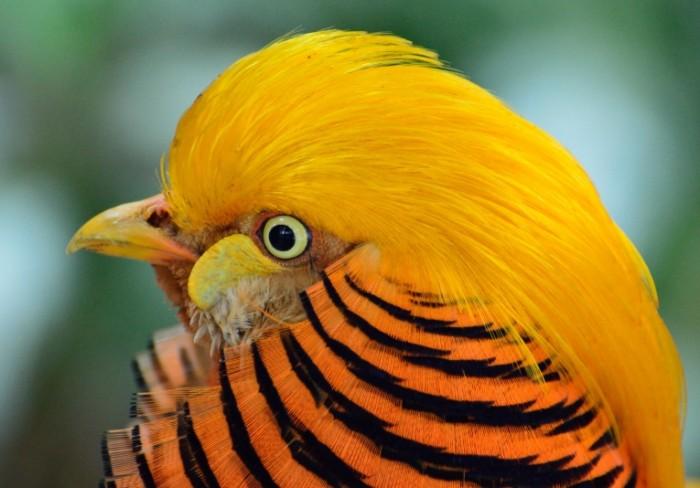 E`kzoticheskaya ptitsa zolotoy fazan Exotic bird golden pheasant 5573  3892 700x488 Экзотическая птица, золотой фазан   Exotic bird, golden pheasant