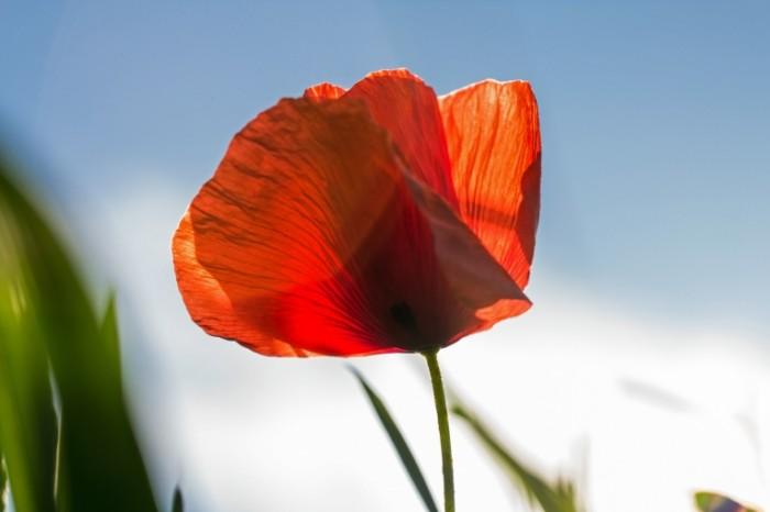 Krasnyiy mak Red poppy 5184  3456 700x466 Красный мак   Red poppy