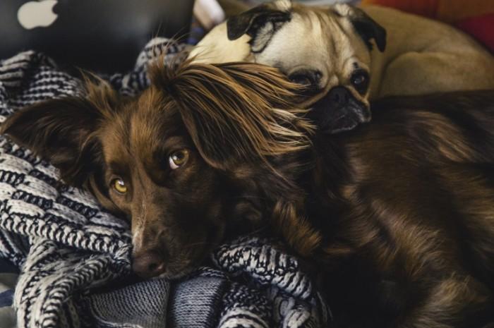 Спаниель и мопс, собаки   Spaniel and pug dog