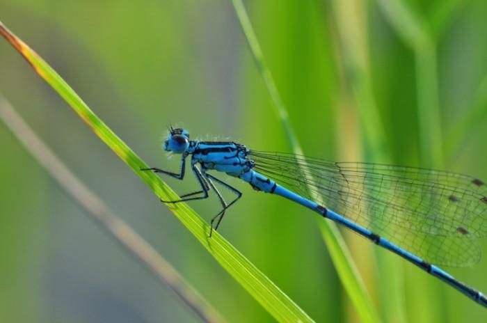 Strekoza makro lazur Dragonfly macro azure 4288  2848 700x464 Стрекоза, макро, лазурь   Dragonfly, macro, azure