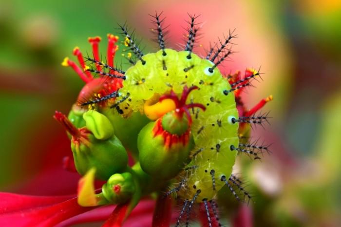 Gusenitsa e`kzoticheskiy tsvetok Caterpillar exotic flower 6000  4000 700x466 Гусеница, экзотический цветок   Caterpillar, exotic flower
