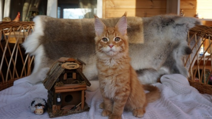 Kot koshachiy domik Cat cat house 6000  3376 700x393 Кот, кошачий домик   Cat, cat house