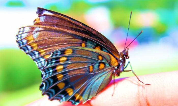 Krasochnaya babochka makro Colorful butterfly macro 5045  3019 700x418 Красочная бабочка, макро   Colorful butterfly, macro