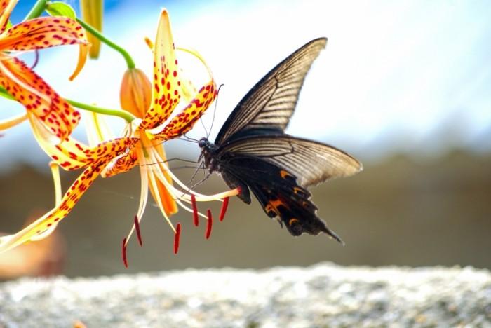 Motyilek makro tsvetok Moth macro flower 4872x3261 700x468 Мотылек, макро, цветок   Moth, macro, flower
