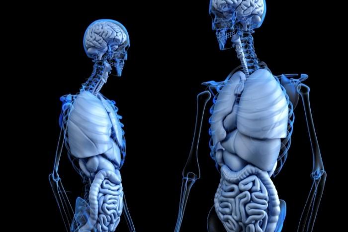 Skelet anatomiya Skeleton anatomy 7200  4800 700x466 Скелет, анатомия   Skeleton, anatomy