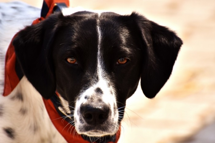 Sobaka makro Dog macro 6000  4000 700x466 Собака, макро   Dog, macro