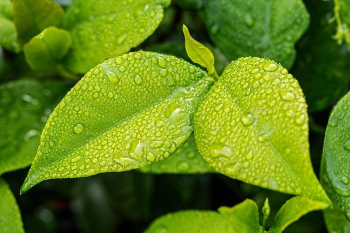 Zelenyiy list rosa makro Green leaf dew macro 5472  3648 700x466 Зеленый лист, роса, макро   Green leaf, dew, macro
