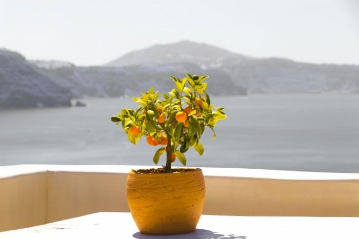 Abrikosyi bonsay kurort Apricots bonsai resort 6000  4000 700x466 Абрикосы, бонсай, курорт   Apricots, bonsai, resort