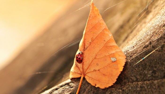 Bozhya korovka makro opavshiy list Ladybug macro fallen leaf 5184  2977 700x401 Божья коровка, макро, опавший лист   Ladybug, macro, fallen leaf
