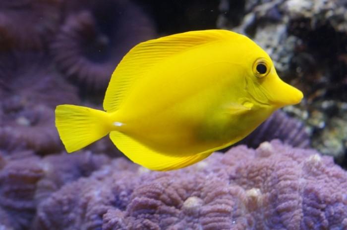 E`kzoticheskaya ryibka ryiba hirurg Exotic fish fish surgeon 5456  3632 700x465 Экзотическая рыбка, рыба хирург   Exotic fish, fish surgeon