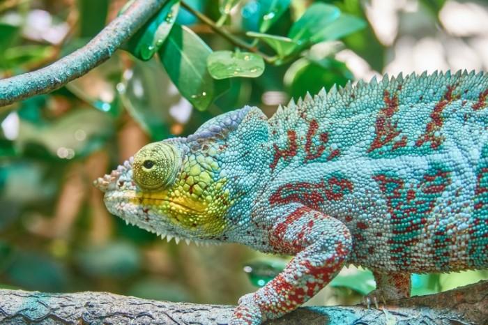 Hameleon makro tropiki Chameleon macro tropics 5472  3648 700x466 Хамелеон, макро, тропики   Chameleon, macro, tropics