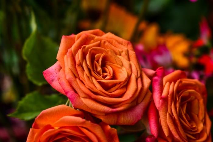 Podkrashennyie rozyi oranzhevyie rozyi Tinted roses orange roses 6000  4000 700x466 Подкрашенные розы, оранжевые розы   Tinted roses, orange roses