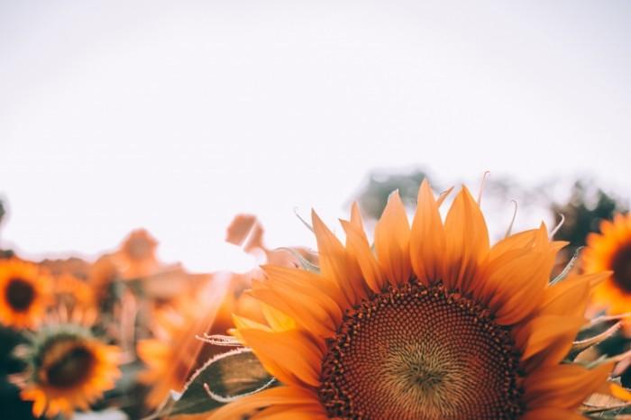 Podsolnuh pole solntse krupnyim planom Sunflower field sun close up 5184  3456 700x466 Подсолнух, поле, солнце, крупным планом   Sunflower, field, sun, close up