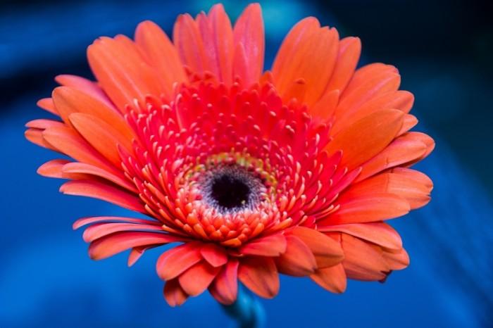 Romashka Gerber yarkiy tsvetok makro Chamomile Gerber bright flower macro 5184  3456 700x466 Ромашка, Гербер, яркий цветок, макро   Chamomile, Gerber, bright flower, macro