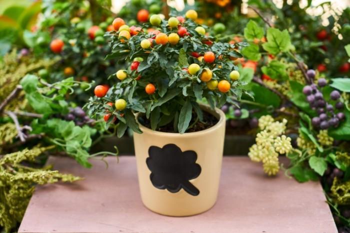 TSvetochnyiy gorshok plodovoe rastenie Flower pot fruit plant 7490  4996 700x466 Цветочный горшок, плодовое растение   Flower pot, fruit plant