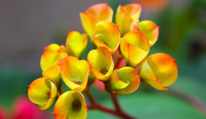 TSvetok Blum makro Bloom flower macro 5184  3012 700x406 Цветок Блум, макро   Bloom flower, macro