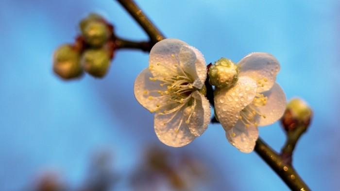 TSvetok rosa makro derevo Flower dew macro tree 5420  3049 700x393 Цветок, роса, макро, дерево   Flower, dew, macro, tree