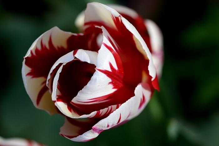 Tyulpan tsvetok makro Tulip flower macro 6000  4000 700x466 Тюльпан, цветок, макро   Tulip, flower, macro