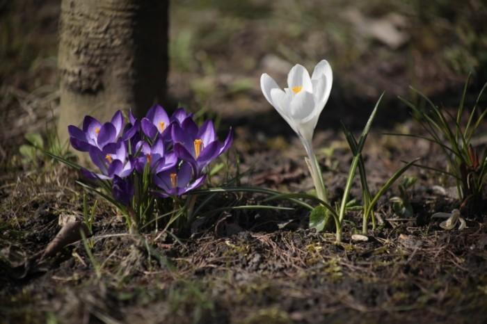 Vesna podsnezhniki krokus Spring snowdrops crocus 5616  3744 700x466 Весна, подснежники, крокус   Spring, snowdrops, crocus