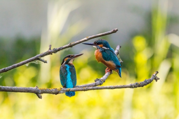 Zimorodok ptitsyi priroda Kingfisher birds nature 5472  3648 700x466 Зимородок, птицы, природа   Kingfisher, birds, nature