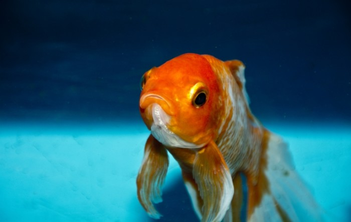 Zolotaya ryibka makro Goldfish macro 5624  3576 700x444 Золотая рыбка, макро   Goldfish, macro