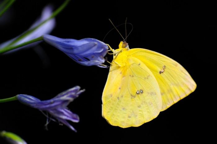 Babochka makro tsvetok nasekomoe Butterfly macro flower insect 7500  5000 700x466 Бабочка, макро, цветок, насекомое   Butterfly, macro, flower, insect