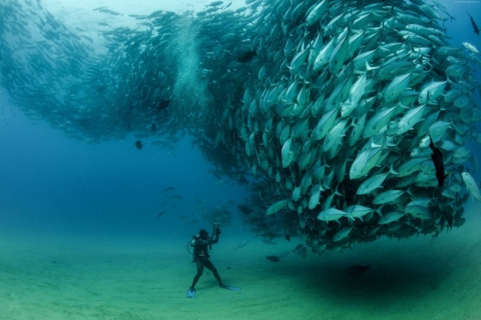 Dayving kosyak ryibyi e`kzoticheskie ryibki Diving a school of fish exotic fish 4253x2830 700x465 Дайвинг, косяк рыбы, экзотические рыбки   Diving, a school of fish, exotic fish