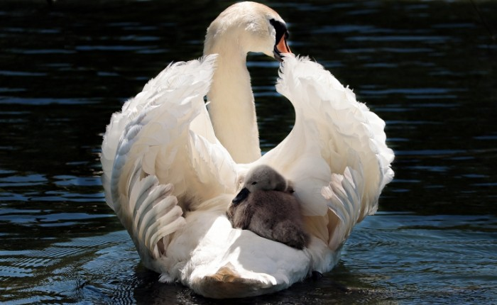Lebed s ptentsom Swan with chick 5508  3389 700x430 Лебедь с птенцом   Swan with chick