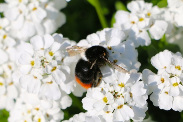 Lugovyie tsvetyi shmel makro Meadow flowers bumblebee macro 5472  3648 700x466 Луговые цветы, шмель, макро   Meadow flowers, bumblebee, macro