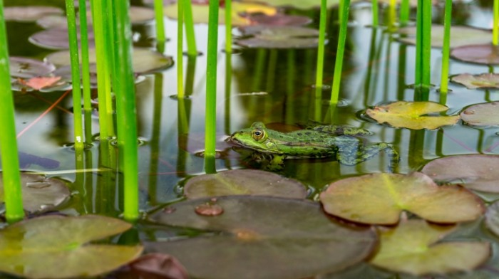Lyagushka makro lotos prud Frog macro lotus pond 5456  3064 700x392 Лягушка, макро, лотос, пруд   Frog, macro, lotus, pond