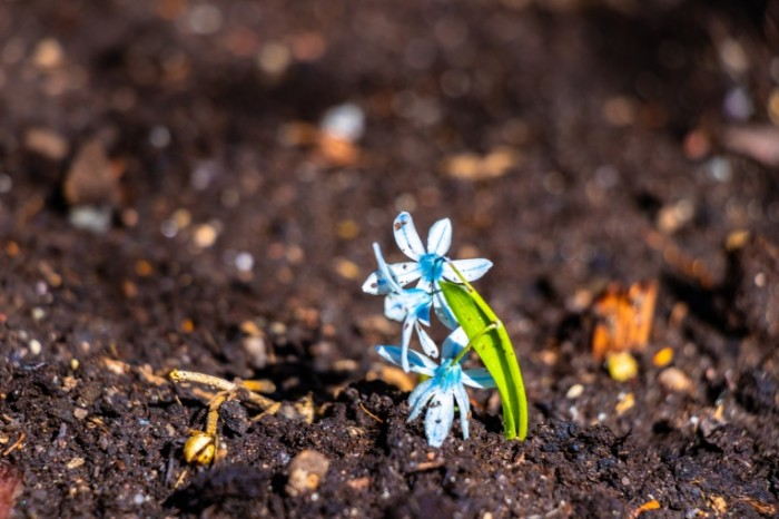 Podsnezhnik vesna makro tsvetok Snowdrop spring macro flower 6000  4000 700x466 Подснежник, весна, макро, цветок   Snowdrop, spring, macro, flower